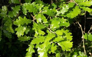 «У Лукоморья дуб зеленый…» (анализ)