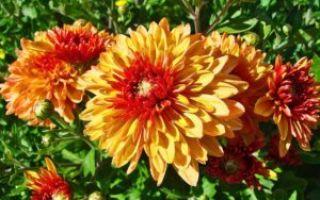 «Цветы последние милей…» (анализ)