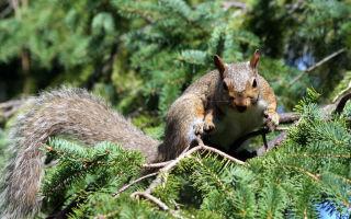 Белка песенки поет да орешки все грызет…