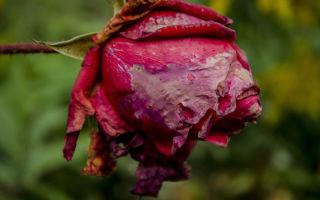 Роза («Где наша роза…»)