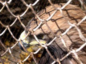 Вскормленный в неволе орел молодой