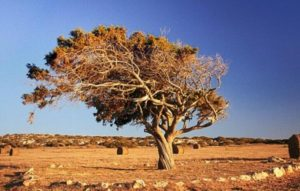 Дерево анчар